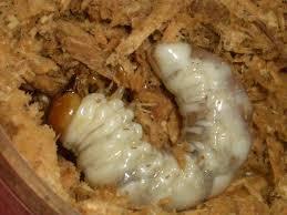 クワガタムシの幼虫